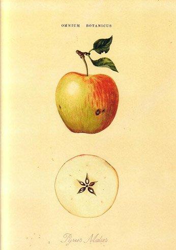 Omnious Botanicus. Apple.