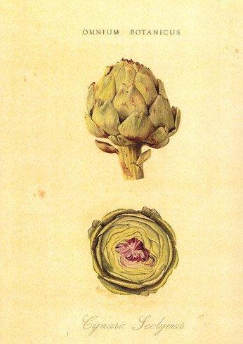 Omnious Botanicus. Artichoke