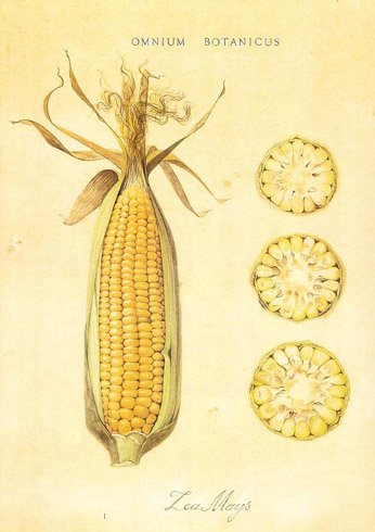 Omnious Botanicus. Zea Mays